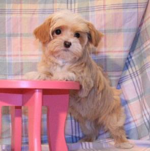 San Francisco Havanese Puppies   Havanese Puppies  Havanese