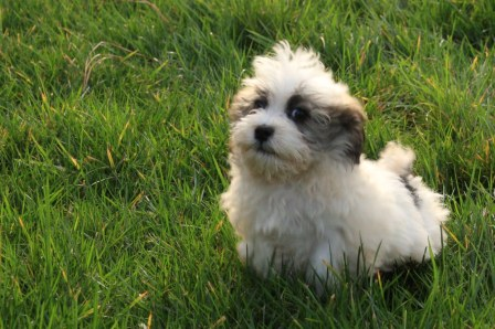 San Francisco Havanese Puppies | Havanese Puppies| Havanese